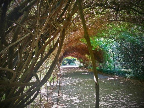 Adelaide Botanic Garden: Wisteria Arbor