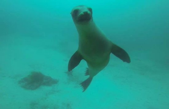 Galapagos Underwater: Galapagos Sea Lion