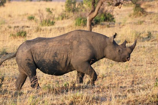 Enkewa Camp : Rhino running to the hills