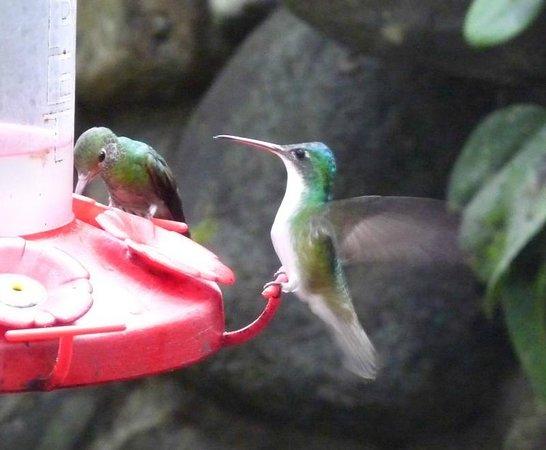 Cabanas Armonia y Jardin de Orquideas : Hummingbirds at the feeder