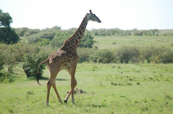 Oloi Karere Mara Camp: L'eleganza della giraffa