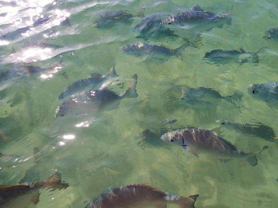 Catalonia Riviera Maya : Fish hang out by the lagoon all day