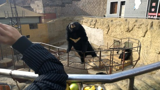 Yanqing Badaling Bear Park: Hungry Bear