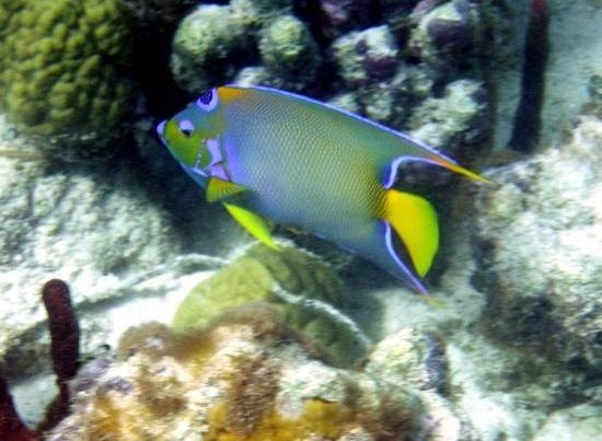 Aquamarine Beach Houses: queen angel fish near reef in front of ABH