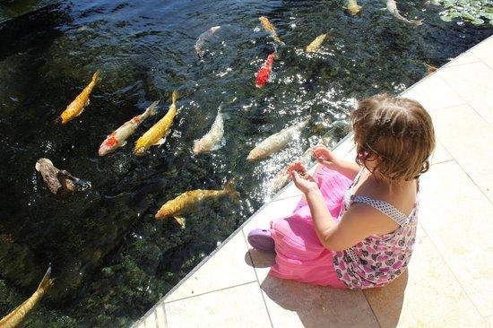 The Royal Hawaiian, a Luxury Collection Resort: Koi fish feeding at Sheraton Koi Fish Pond