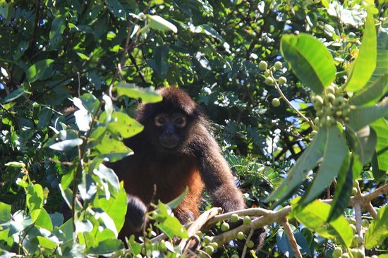 Copa de Arbol Beach and Rainforest Resort: Spider monkey in Corcovado