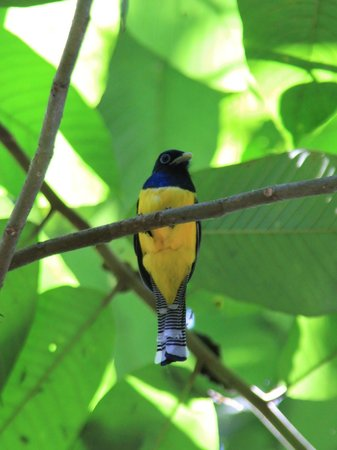 Copa de Arbol Beach and Rainforest Resort: Trogon in Corcovado