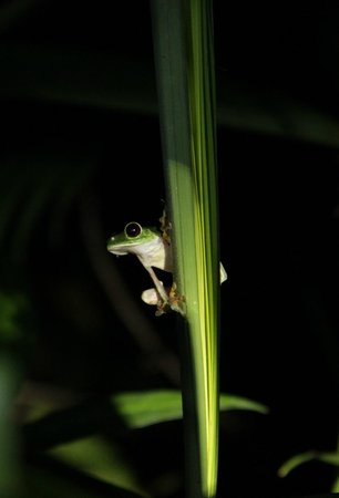 Copa de Arbol Beach and Rainforest Resort: Tree frog (spotted during the night rainforest tour)
