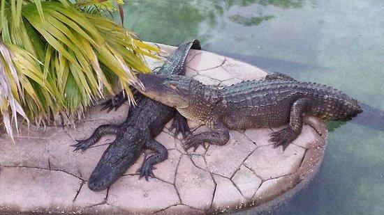 Kissimmee Go-Karts : Alligator pond at Kissimmee Go Karts