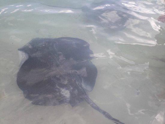 Stingray Adventure: Big rays