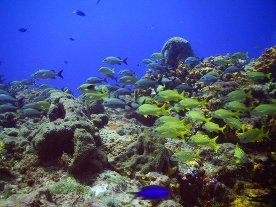 Caribbean Divers : Amigable cardumen de peces tropicales