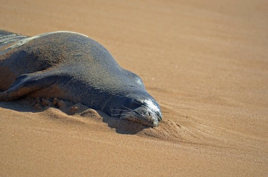 The Westin Kaanapali Ocean Resort Villas : this monk seal was sitting right outside the westin