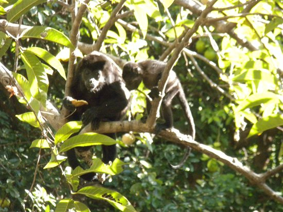 Hotel Riu Guanacaste: mommy and young monkeys from our balconey