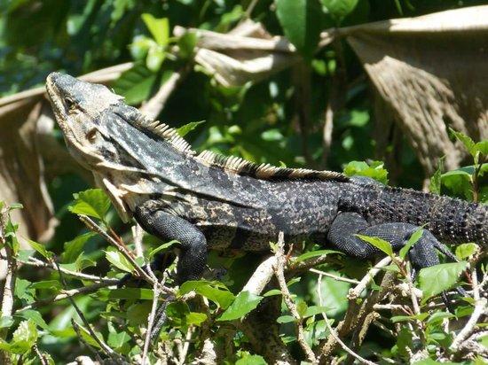 Hotel Costa Verde: Iguana
