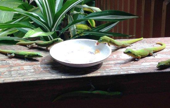 Honu Kai B&B: Geckos breakfasting...
