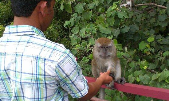 Teluk Chempedak: lot of monkeys