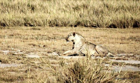 Amboseli National Park : Amboseli Lion