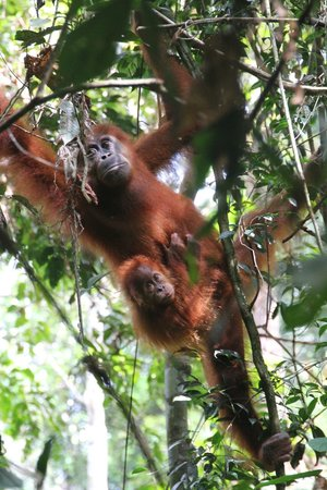 Mother carying a baby orangutang in Bukit Lawang Jungle.