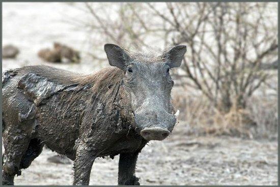 Horizon Horseback Adventures Lodge : Dirty Warthog