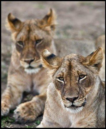 Horizon Horseback Adventures Lodge : Dozing Lions