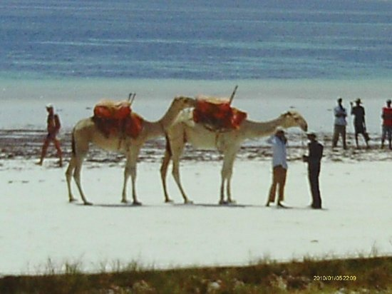 Diani Sea Resort: beach camels visit daily