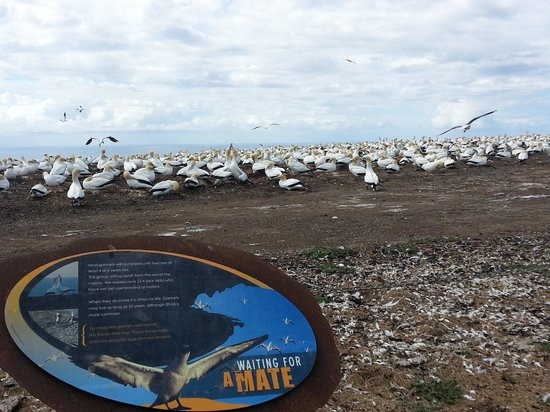 Gannet Safaris Overland: A great experience where you get extremely close to the colony.