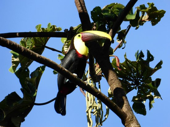 Restaurante Caballo Negro: Toucan at the Restaurant