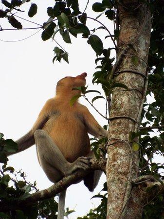 Brunei Proboscis Monkey River Safari: Proboscis monkey