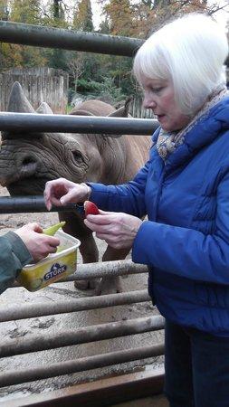 Paignton Zoo Environmental Park: Feeding the rhinos