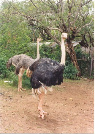 Blue Posts Hotel: wild ostriches