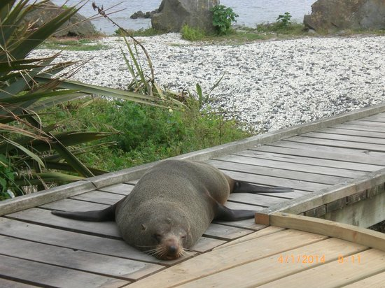 Kaikoura Helicopters: Fur seal...resting and posing!