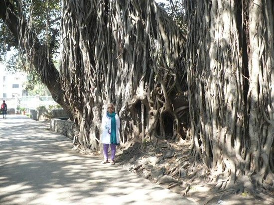 Pataleshwar Cave Temple: an old banyan tree in the garden of pataleshwar temple
