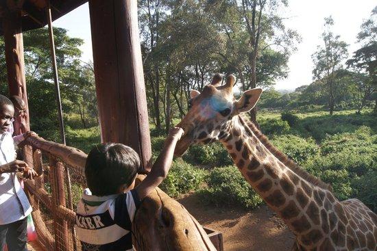 African Fund for Endangered Wildlife (Kenya) Ltd. - Giraffe Centre: Feeding / patting time