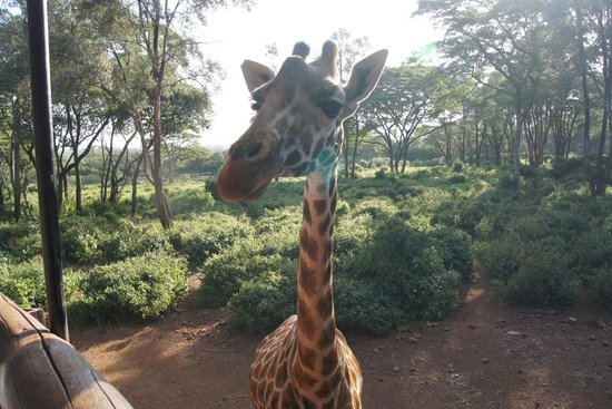 African Fund for Endangered Wildlife (Kenya) Ltd. - Giraffe Centre : Close up