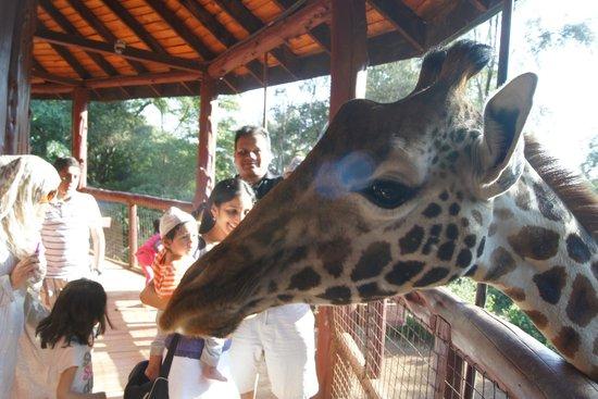 African Fund for Endangered Wildlife (Kenya) Ltd. - Giraffe Centre : at the ramp