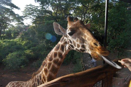 African Fund for Endangered Wildlife (Kenya) Ltd. - Giraffe Centre : Feeding Giraffe
