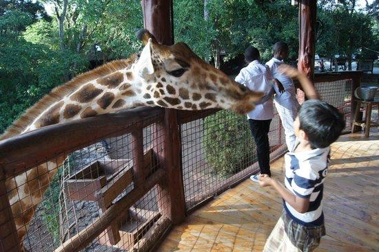 African Fund for Endangered Wildlife (Kenya) Ltd. - Giraffe Centre : Feeding time