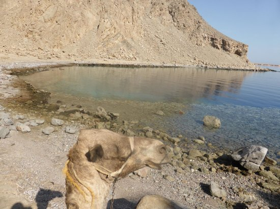 Easy Travel Egypt - Day Tours : camel riding to Ras Abu Galum National Park
