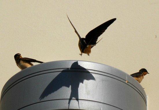 Everglades Birding - Private Tours: Swallows