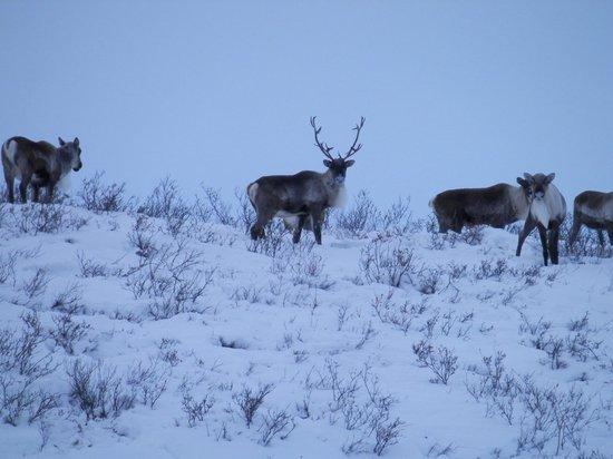Dempster Highway: caribou