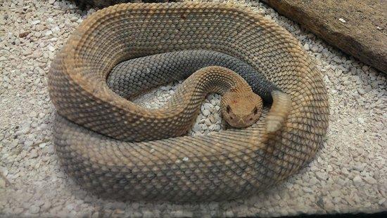 Bronx Zoo: Serpent à sonnette