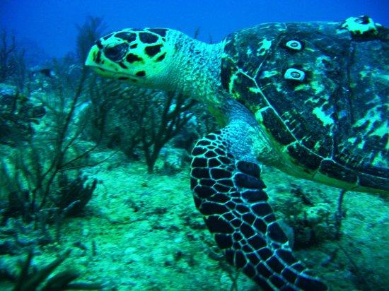 Jupiter Scuba Diving: Lots of Turtles in Jupiter.