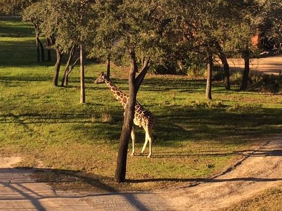 Disney's Animal Kingdom Lodge : Giraffe from the balcony of our room