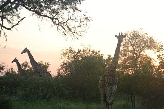 Naledi Bushcamp and Enkoveni Camp : Morning Drive