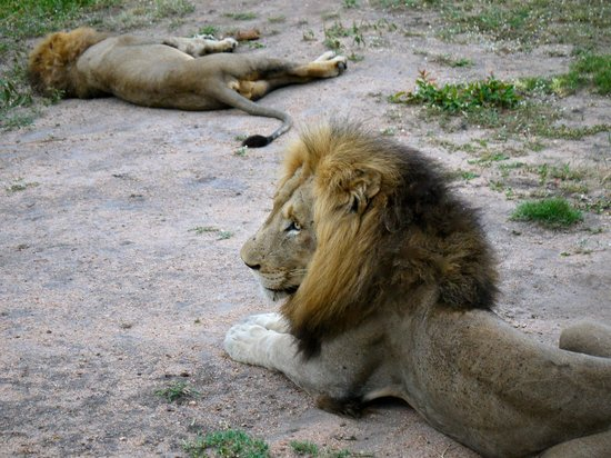 Inyati Game Lodge, Sabi Sand Reserve: Lion siting