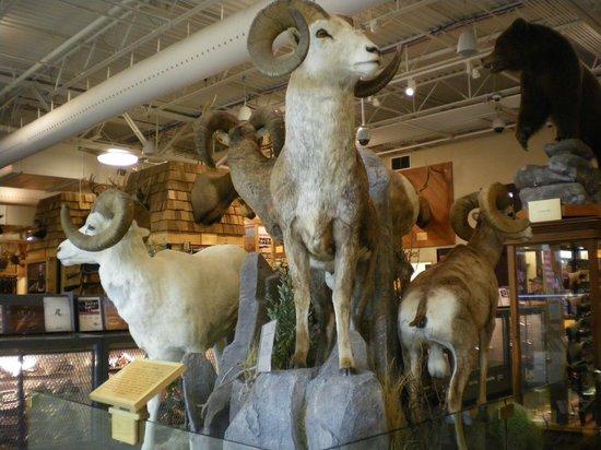 Scheels : Four species of Bighorn sheep
