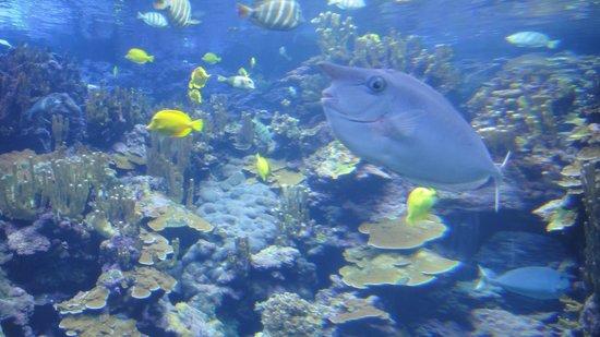 Maui Ocean Center: The unicorn fish...I love these guys.