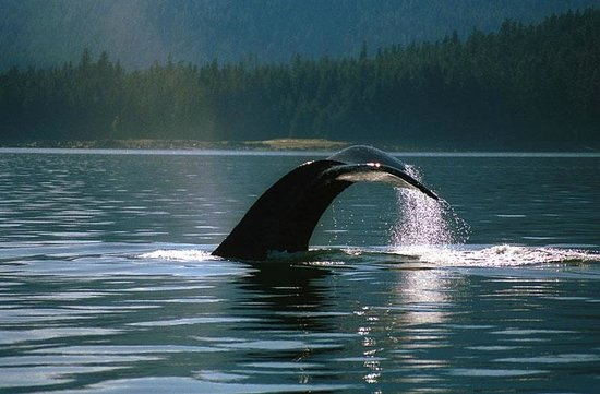 Rivers Inlet, Canada: Whale Tail.