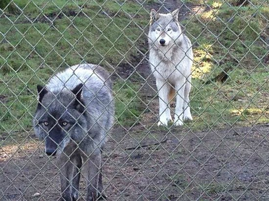Wolf Haven International: Beautiful Wolves