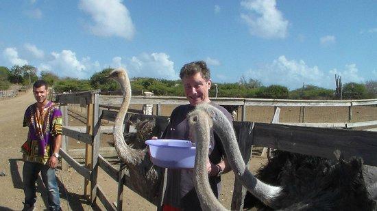 Curacao Ostrich Farm: Feeding Time